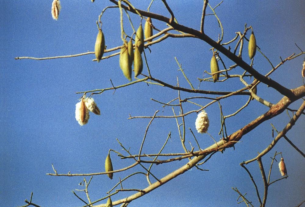 Kapokfasern am Baum